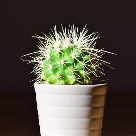 mexikanischer kaktus pflege. Black Bedroom Furniture Sets. Home Design Ideas